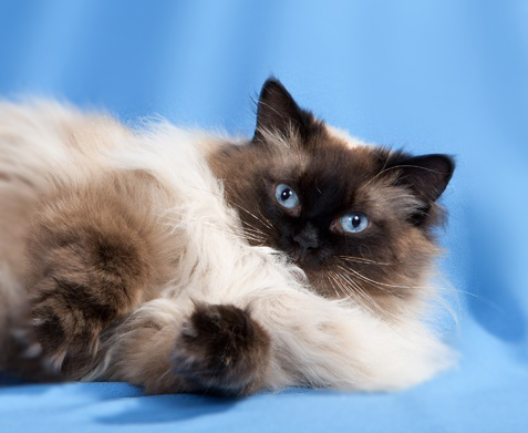 Ravera Ragdoll Cats, Kittens - Australian Registered