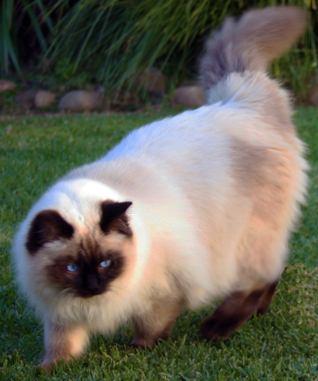 Ravera Ragdoll Cats, Kittens - Australian Registered Breeders