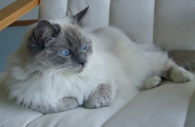 1 year old ragdoll cat for sale